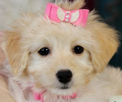 puppies for sale store 25 best ideas about morkie puppies for sale on morkies for sale yorkie