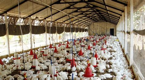 Broiler Poultry Farming Project Report for 500 Birds   Poultry project report