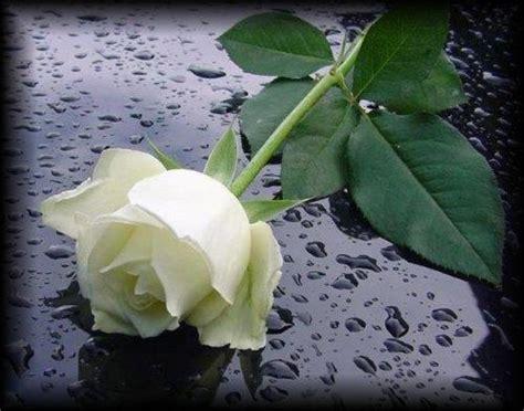 imagenes de luto rosa blanca luto y duelo diferencias confidentiam