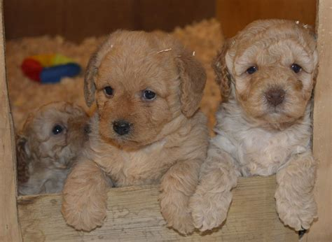 mini labradoodles sale 3rd generation mini labradoodles for sale chelmsford