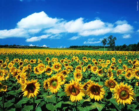 sunflower field sunflower hd wallpapers
