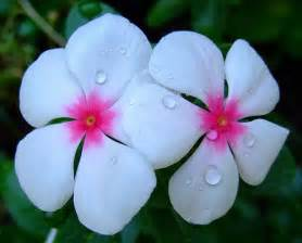 flowers for flower lovers periwinkle flowers pictures