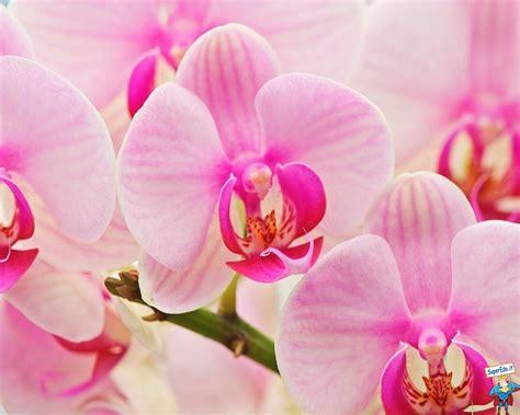 immagini fiori orchidee sfondi desktop orchidee 52 in alta definizione hd