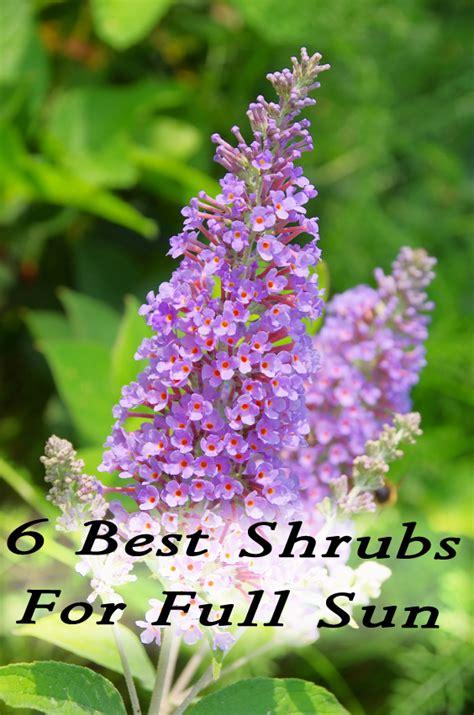 small flowering shrubs for sun 6 best shrubs for sun by jaci