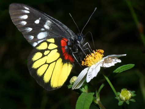 black wallpaper with yellow butterflies pieridae wallpaper