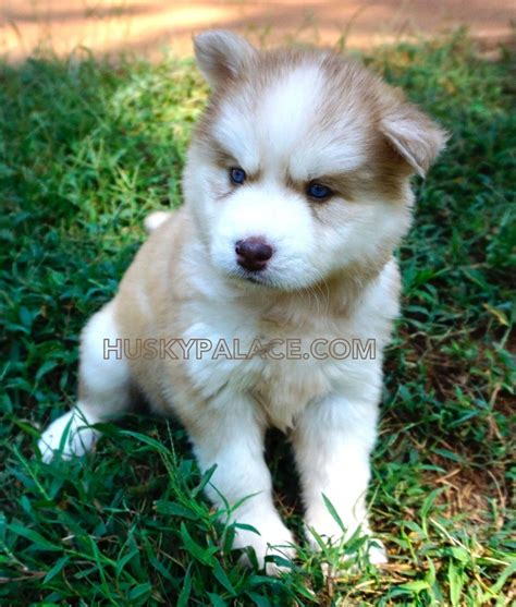 husky puppies for sale in missouri husky puppies for sale in missouri