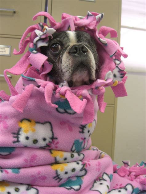Blankets With Dogs On Them by Say Quot Aww Quot To These 25 Dogs Swaddled In Blankets Like