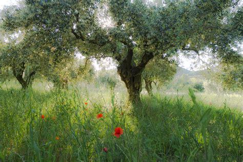 pflanzen der provence olivenb 228 ume im abendlicht der provence foto bild