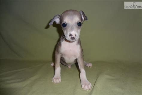 italian greyhound puppies for sale in pa teacup dachshund puppy