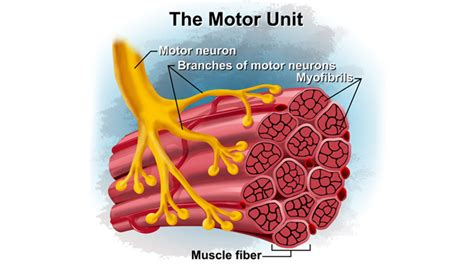 what is motor unit the science of 10 x 3 t nation
