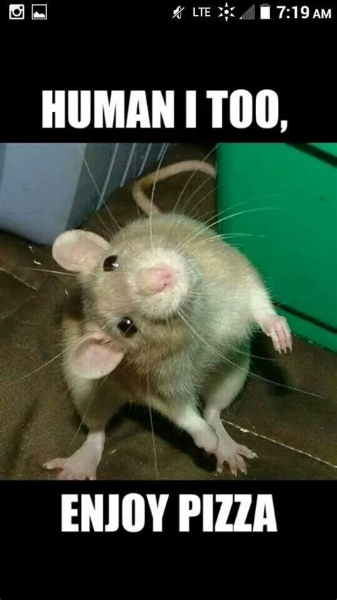 Rat Meme - 35 best ratty babies images on pinterest
