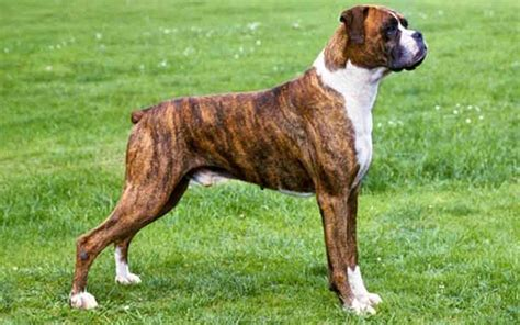 flat faced dogs dogsbreedscenter best breeds pictures information and reviews