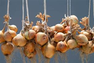 harvesting and storing onions shallots allotment gardens