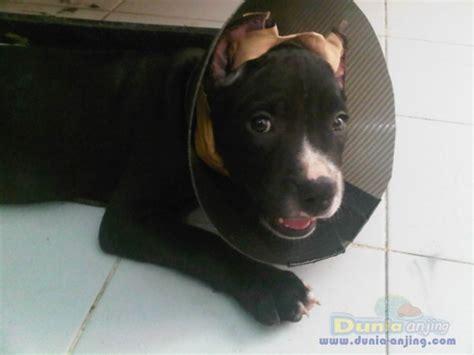 Jual Cacing Lung dunia anjing jual anjing american pit bull terrier for