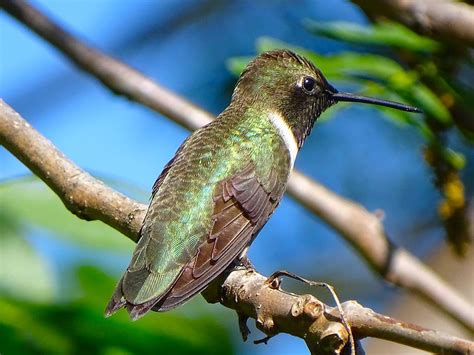 hummingbird species with common names sizes scientific