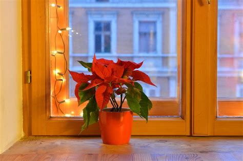 clear poinsetta holiday flower xmas lights how to grow and rebloom poinsettias mnn nature network