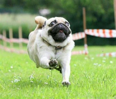 running pugs run pug run cuteness