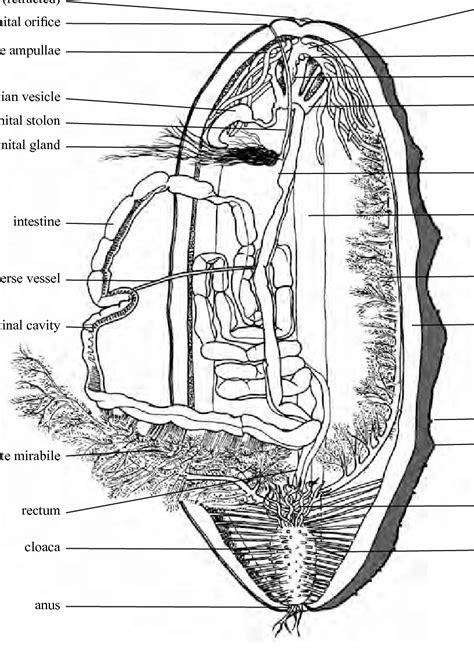 Anatomy of the aspidochirotid sea cucumber Holothuria