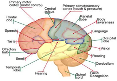 diagram and functions 8 best images of the function and parts of brain labeled