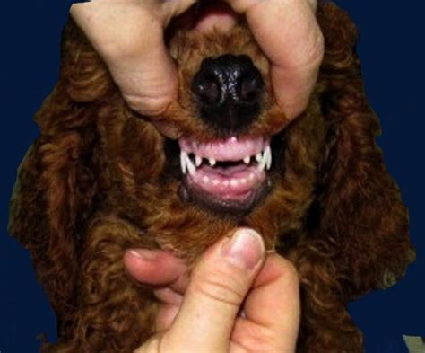 what age do puppy teeth fall out do puppies teeth fall out breeds picture