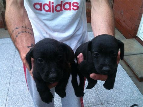 patterdale terrier puppies for sale patterdale terrier puppies breeds picture