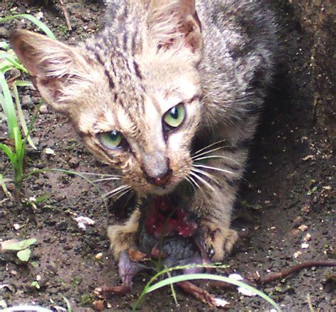 Tempat Makan Anjing Kucing Kecil maniakucing 50 jenis kucing di dunia beserta sejarah lengkap