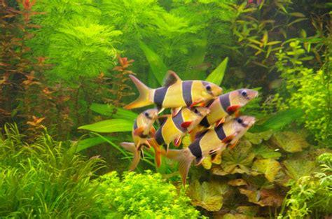 Makanan Ikan Hias Mudah jenis jenis ikan hias aquarium air tawar terindah yang