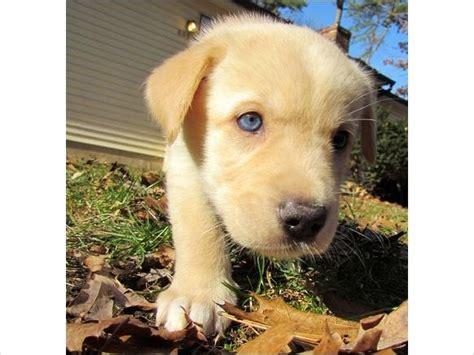 goberian puppy goberian puppies goberians