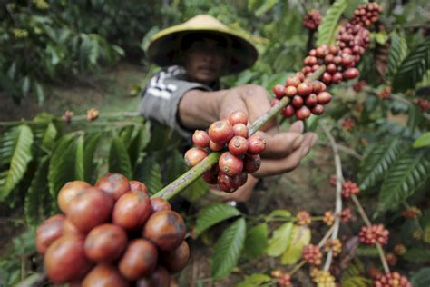 Coffee Indo global demand for coffee squeezes poor farmers water