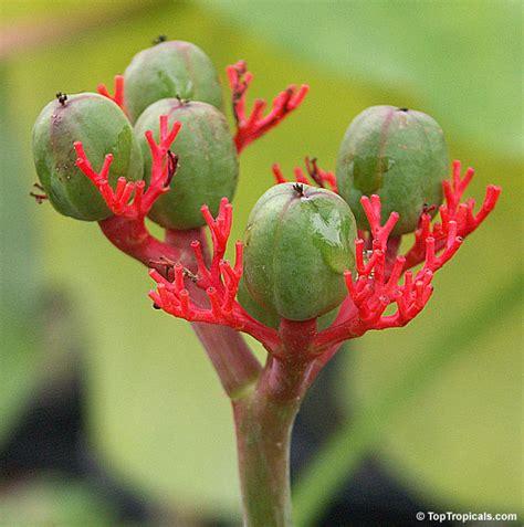 Plant Lovers jatropha podagrica goiut plant toptropicals com