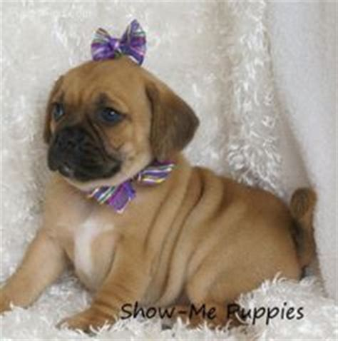 puggle puppies for adoption 1000 images about puggles on puggle puppies for sale puppies for sale