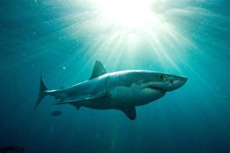 baby shark uk baby great white shark bludgeoned to death in front of