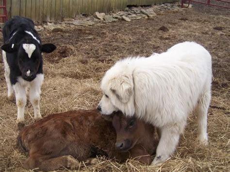 livestock guardian dogs 1000 images about livestock guardian animals on donkeys mastiff