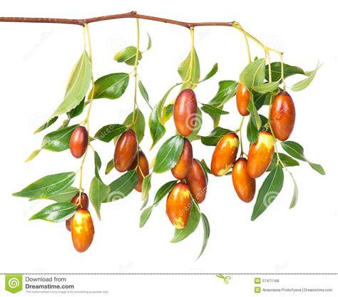 Jujube Be Light by Jujube Fruit Stock Photo Image 57471166