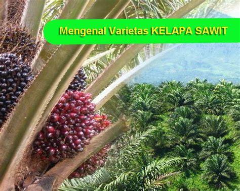 varietas unggul kelapa sawit sifat keunggulan  ciri