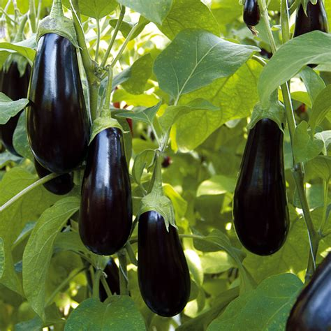 vegetables plants aubergine grafted scorpio 3 grafted vegetables