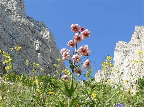 giglio martagone fiore lilium martagon giglio martagone forum natura