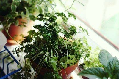 Indoor Windowsill Herb Garden by How To Grow An Indoor Window Sill Herb Garden