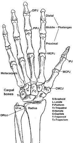 anatomy study skeleton hand by richardblumenstein 2