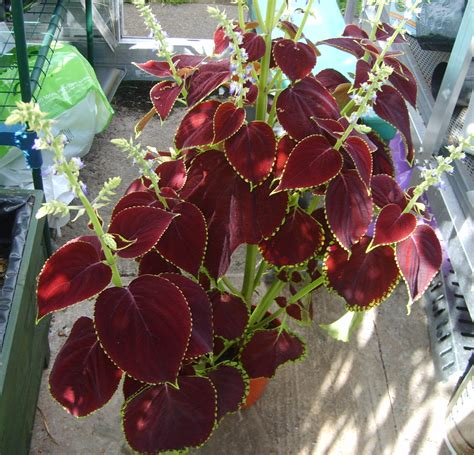 flowering house plants identification flowering house plant identification www imgkid com