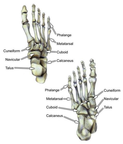 labelled diagram of foot bones of foot labeled voeten anatomie