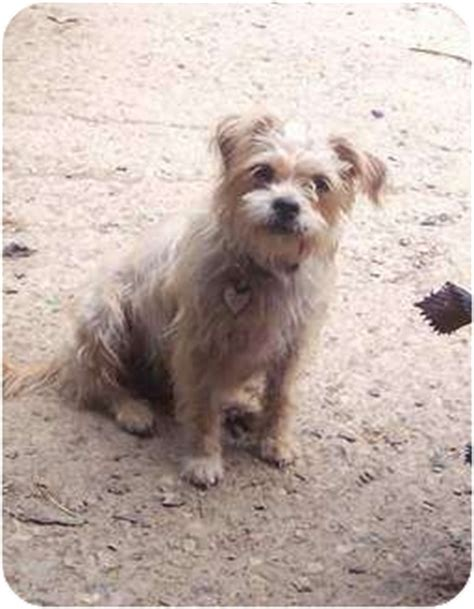shih tzu cairn terrier camme adopted mcarthur oh cairn terrier shih tzu mix