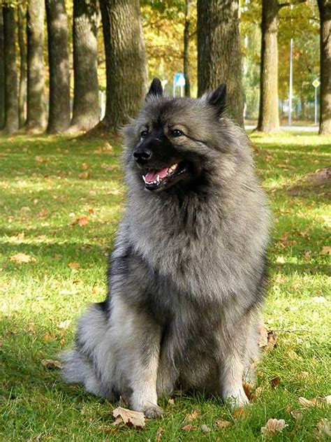 keeshond dogs keeshond breed information pictures characteristics