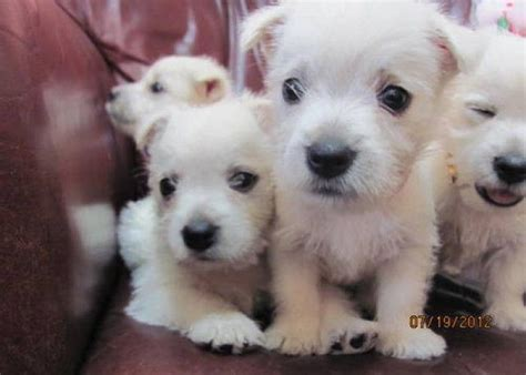 west highland puppies for sale best 25 westie puppies for sale ideas on apple chihuahua apple