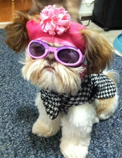 shih tzu clothes shih tzu all dressed up for shih tzu houndstooth and shirts