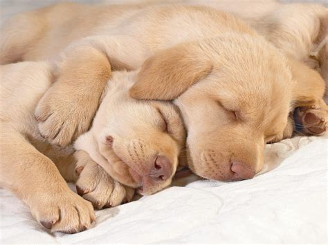 sleeping dogs sleeping puppies wallpapers and images wallpapers pictures photos