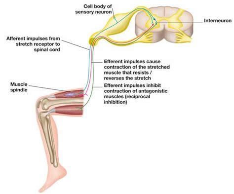 diagram of knee reflex inverse myotatic reflex wikigait