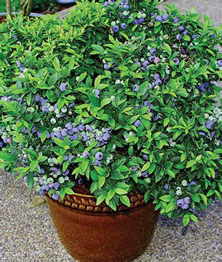 Top Hat Patio Blueberries by The Garden Oracle Blueberries Gardening Advice Supplies