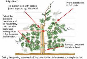 how to grow and prune wisteria aunty lils place