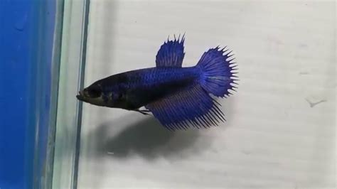 Ikan Cupang Crowntail Royal Blue for sale royal blue crowntail betta newlisting